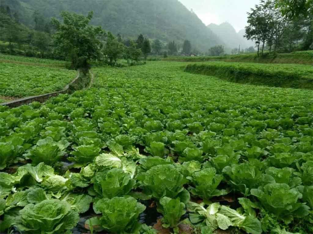 武隆高山白菜