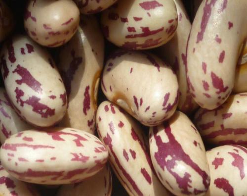 切尔克齐奶花芸豆