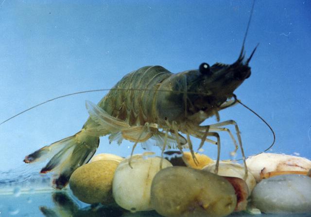日照东方对虾