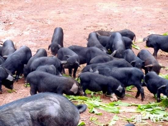 浦市铁骨猪