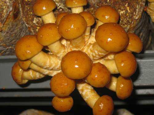 平泉滑子菇