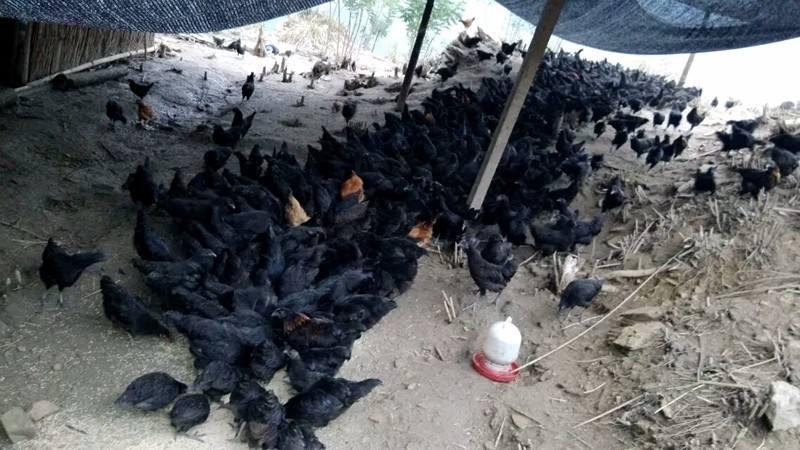 金湖乌凤鸡