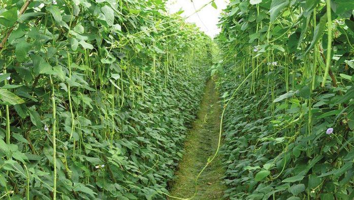 华容青豆角—种植