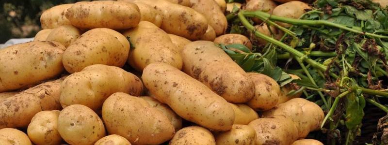 靖边马铃薯