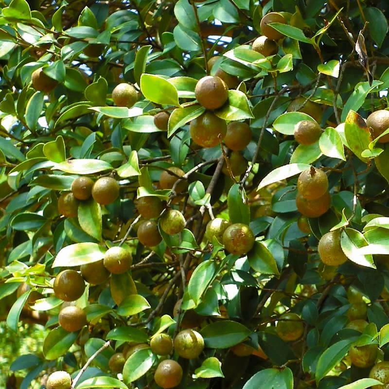上饶油茶树