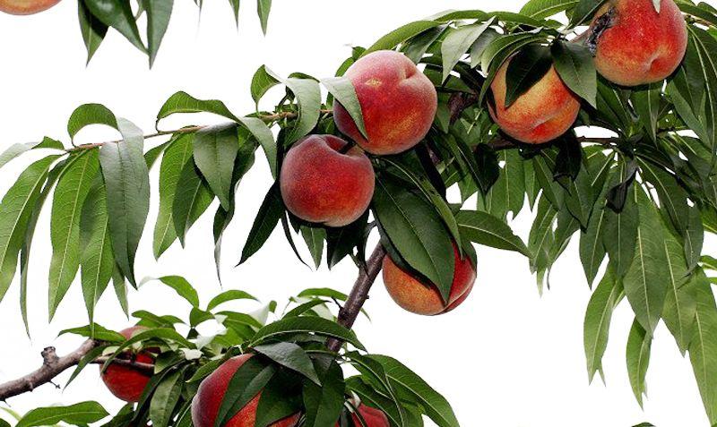 永乐艳红桃
