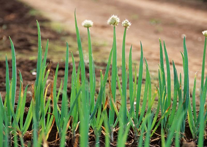 生长中的宝坻大葱