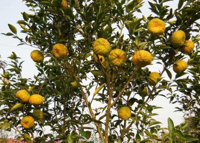华容道皱皮柑树
