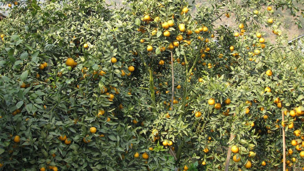 石棉黄果柑