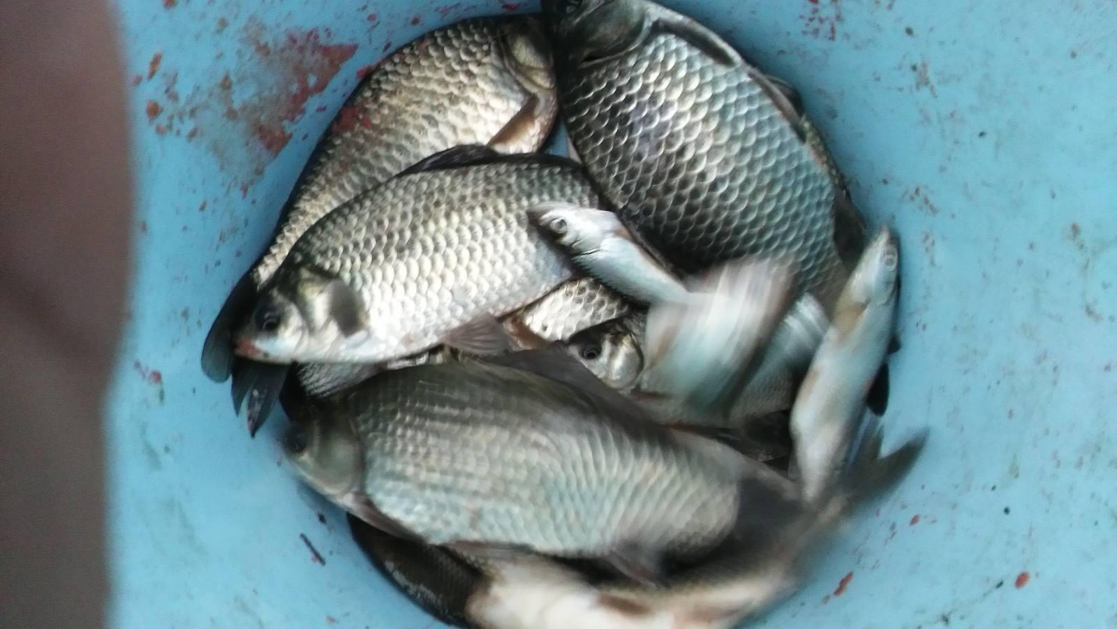 红星水库鲢鱼