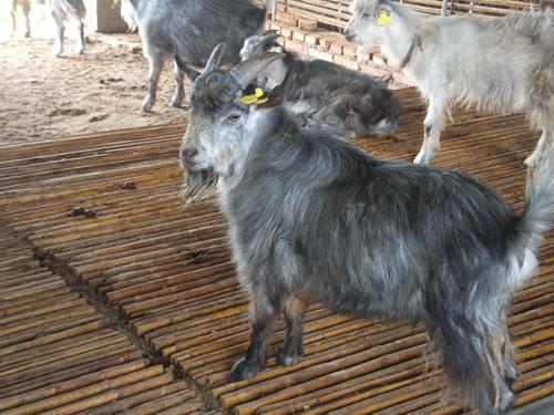 梁山青山羊