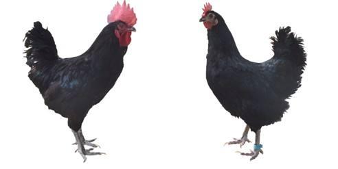 莱芜吉山黑鸡