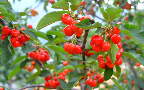 泸定红樱桃