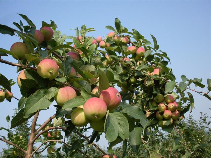 长林岛金红苹果