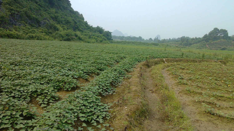 崇礼红薯种植基地