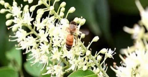 阳朔九龙藤蜂蜜