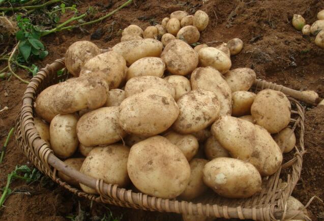 万源马铃薯